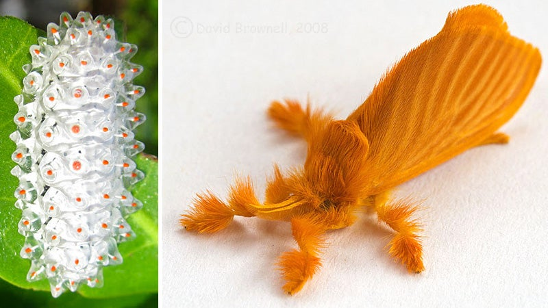 You Won't Believe This See-Through Clear Caterpillar Isn't CG