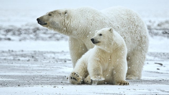 Genetic evidence reveals that polar bears originally came from Ireland