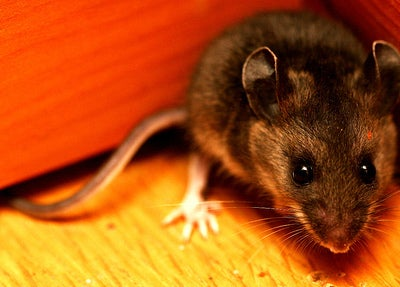 Transgenic Mice Engineered With A Human Gene For Speech
