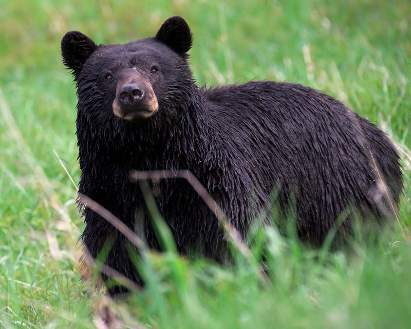 The 8 Stages Of Seeing A Black Bear In The Woods, Ranked