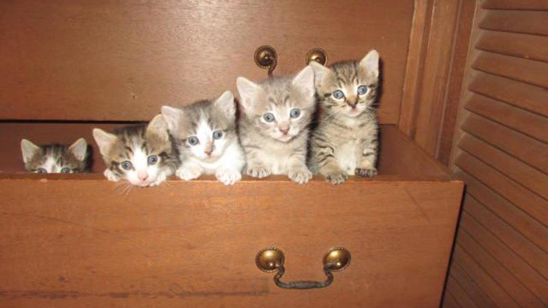 Kittens in a Drawer, Organized by Height for Your Convenience