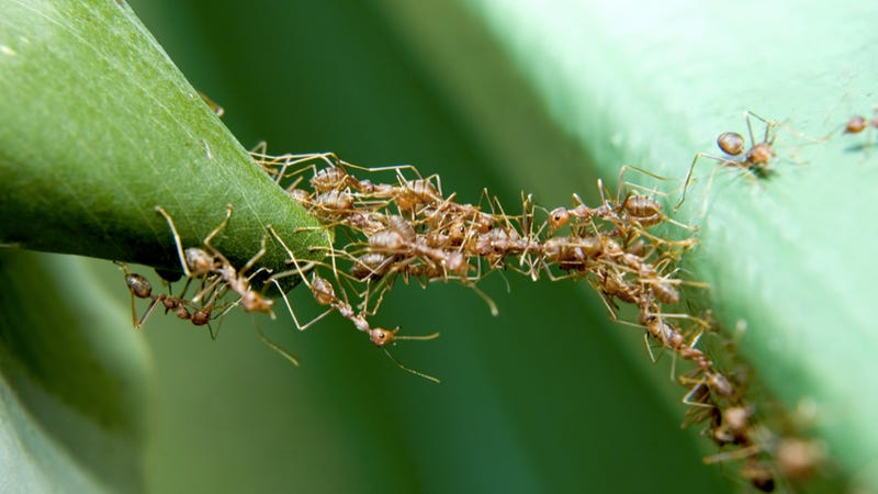 What are the most aggressive ants in the world?