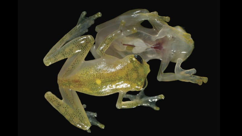 This otherworldly amphibian has a completely transparent underbelly