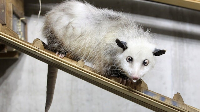 PETA Objects To Festive Possum-Dropping Tradition