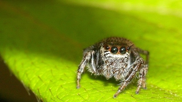 "Scientists make ""frankensquitos"" to test vampire jumping spiders"