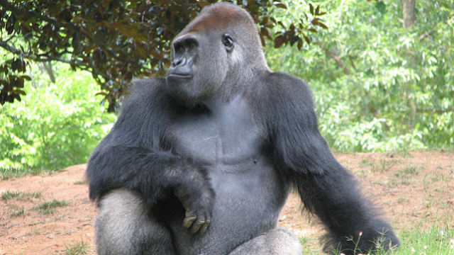 Some of your genes are more similar to gorillas than to chimps