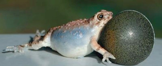 This frog sexbot can teach you about evolution