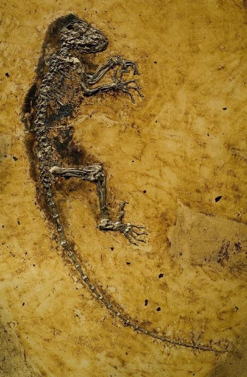 47 Million Year Old Skeleton Reveals the Missing Link Between Lemurs and Humans