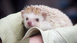 Hedgehog Makes Weather Prediction In Animal Meteorology Throwdown