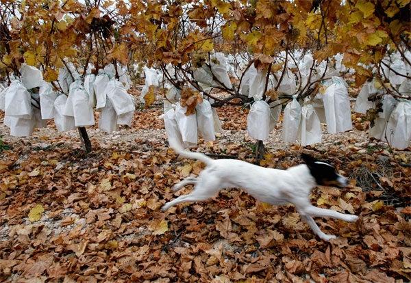 Spanish Dog Is Not Drinking Any F-cking Merlot