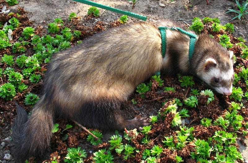 De Blasio to End New York City's Long-Standing Ferret Ban