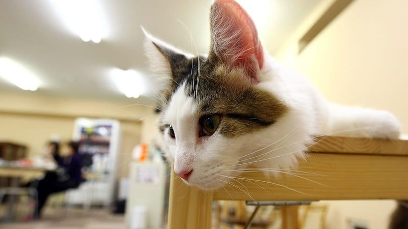 OMG, San Francisco Is Getting a Cat Cafe