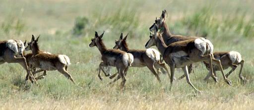 Lady Antelopes Kill for Sex
