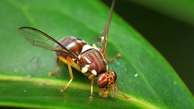 Fruit fly intestines could hold a vital clue to increasing human longevity