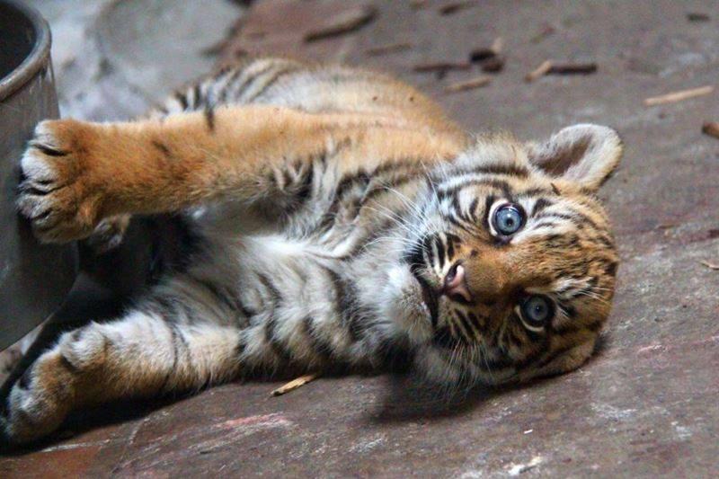 ZOMG BABY CHEETAHS AND BABY TIGER NEWS!!!