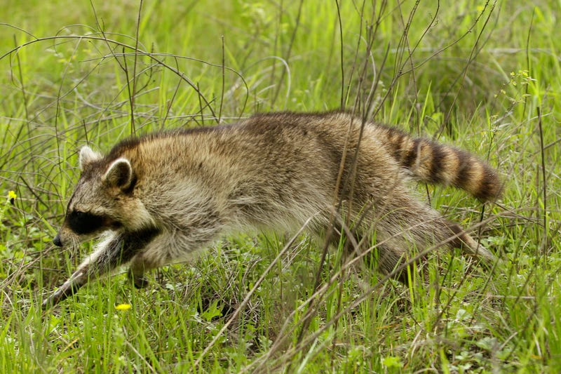 Rabid Raccoon Walks Into Woman's House, Sleeps On Her Bed, Attacks Her