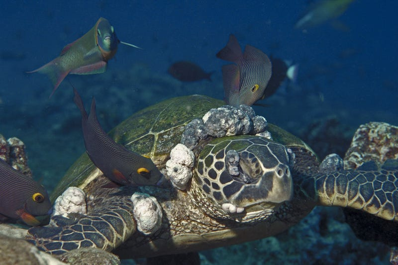 Herpes Outbreak Among Australia's Green Sea Turtles Likely Triggered by Pollution