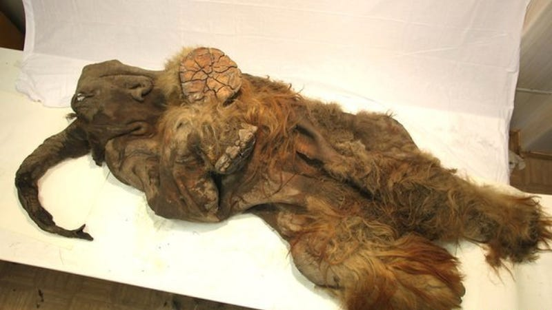 One of the Most Well-Preserved Woolly Mammoths We've Ever Found