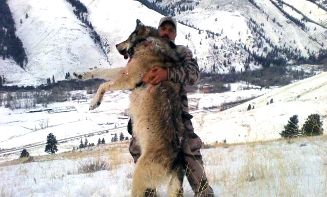 Idaho Hunters to Kill Pesky Wolves for Eating Too Many Elk