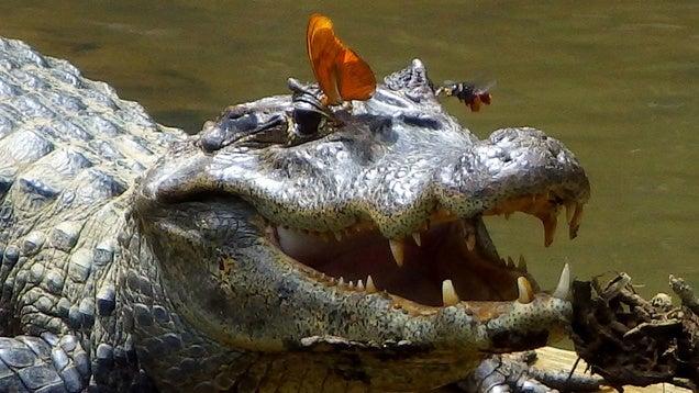 Krokodilkönnyeket iszik az éhes lepke