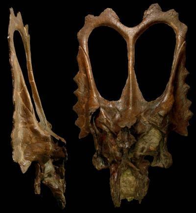Beer-Drinking Paleontologists Name New Dinosaur Species 'Mojoceratops'