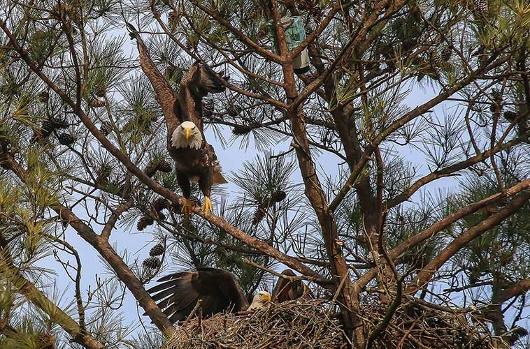 Drop Everything – The Bald Eagle Cam is Back!