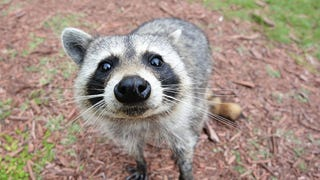 In Defense of Raccoons