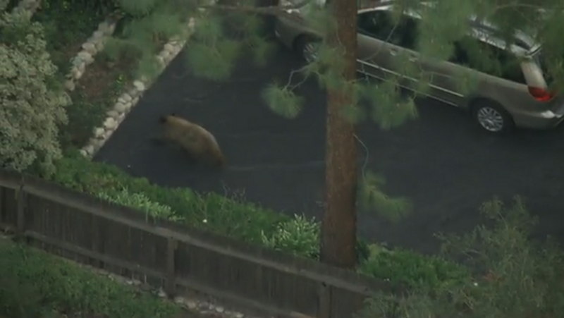 Bears Are Out Wandering Around Southern California