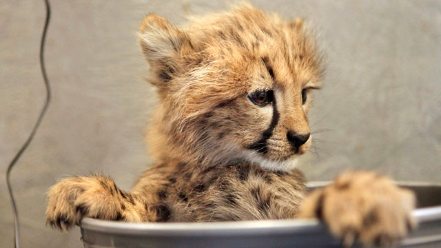 This Cheetah Cub's Cuteness Can't Be Measured