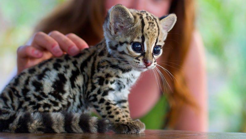 Baby Ocelot Kitten Is Too Cute For Words