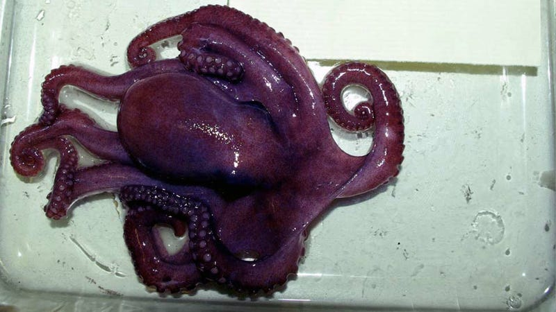 Octopuses rewrite their RNA to function in frigid Antarctic waters