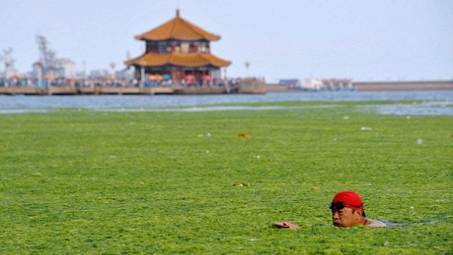 Algae invades Chinese beach, people still go swimming