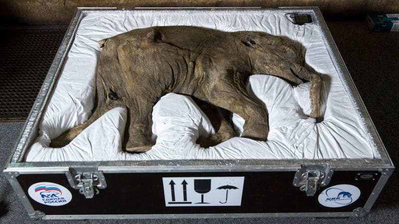 How You Transport a Baby Mammoth