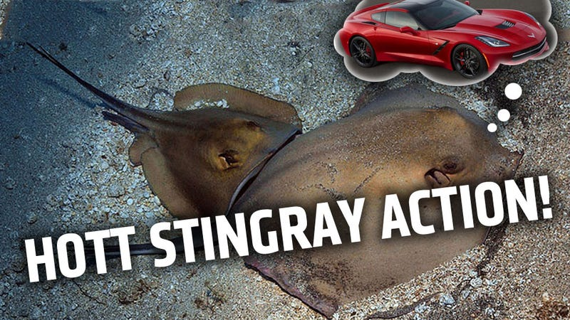 A Guide To Stingray Sex For Your Corvette Metaphor Use
