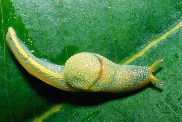 This Weird Ninja Slug Shoots 'Love Darts' At Potential Mates