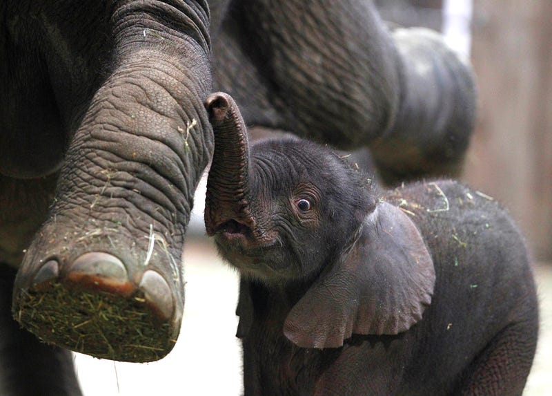 Newborn Elephants are Very Easily Entertained
