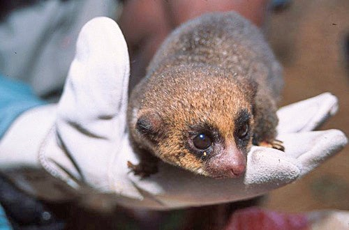 Scientists Rediscover Dwarf Lemur, And It Is Adorable