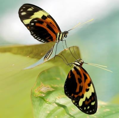 """These butterflies are """"the Transformers of the insect world"""" — and the answer to an evolutionary mystery"""