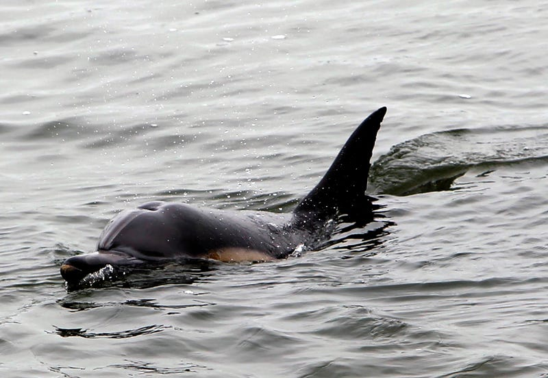 Dolphin Camping Out Near Bolsa Chica Ecological Reserve May Have Been Bullied by Pod