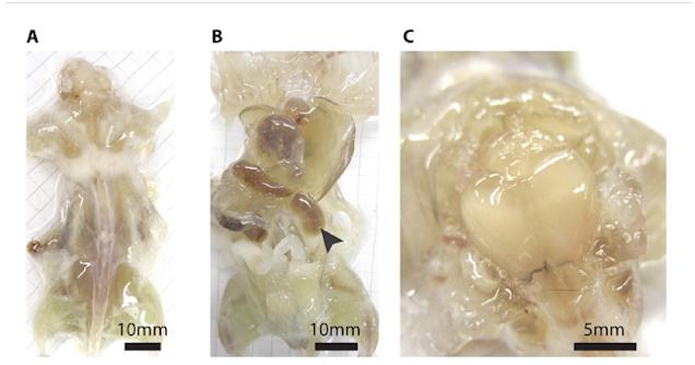 Scientists Create Creepy-Looking Transparent Mice