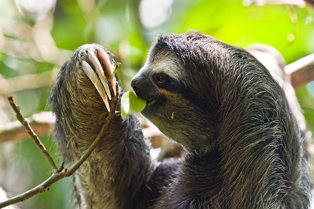 The Strange Symbiosis Between Sloths and Moths