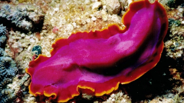 These immortal flatworms regenerate like real-life Time Lords