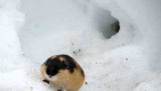 Lemming Suicide Is a Myth That Was Perpetuated by Disney
