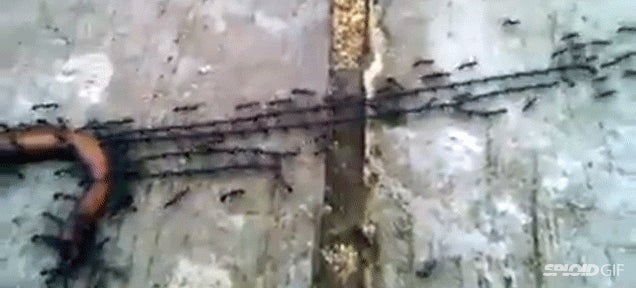 Watch ants work together beautifully to bring food home