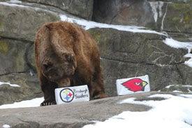 Large Bear Picks Steelers, Would Prefer A Nice Salmon