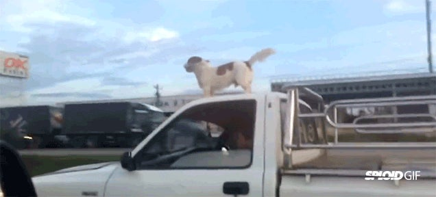 Crazy dog loves riding and jumping on top of a speeding truck's cab