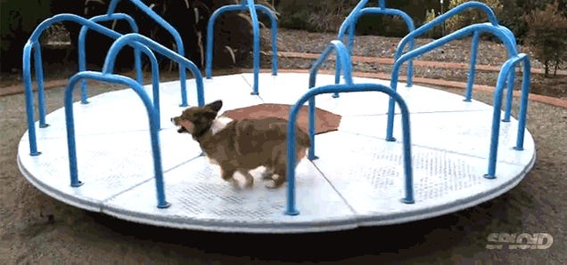 Hilarious corgi running on a carousel is a perfect metaphor of life