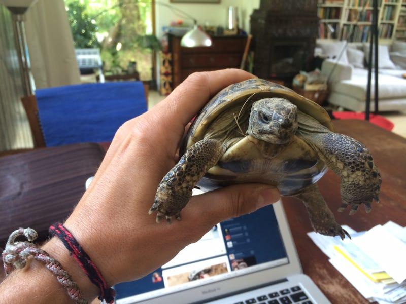 Csoda történt, másodszor is kitelelt és meglett a szökött görög teknős
