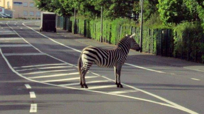 Cunning Zebra finds ultimate hiding place