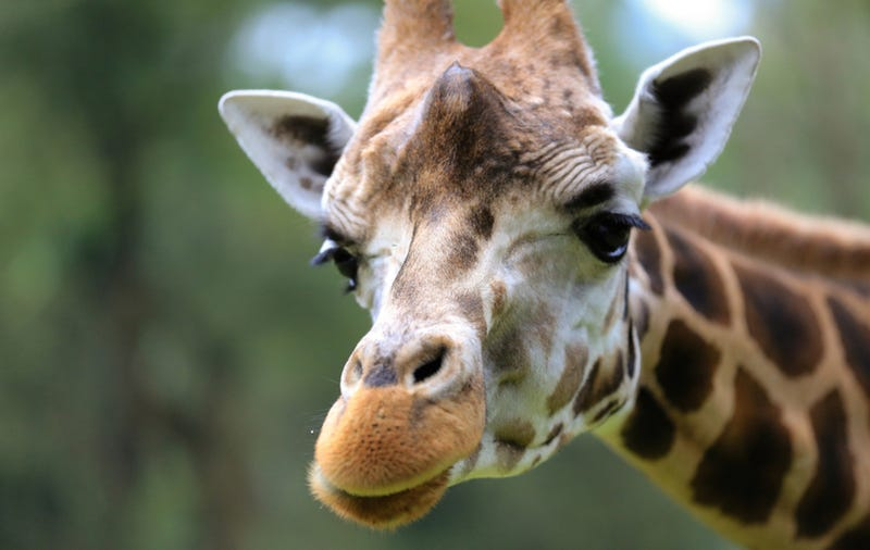 Woman Cited for Climbing Into Giraffe Pen, Getting Kicked in Face
